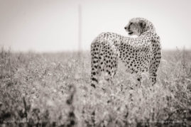 A Cheetah looks out onto the plains of the Serengeti