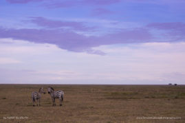 Two zebras stare back after a storm in the Serengeti