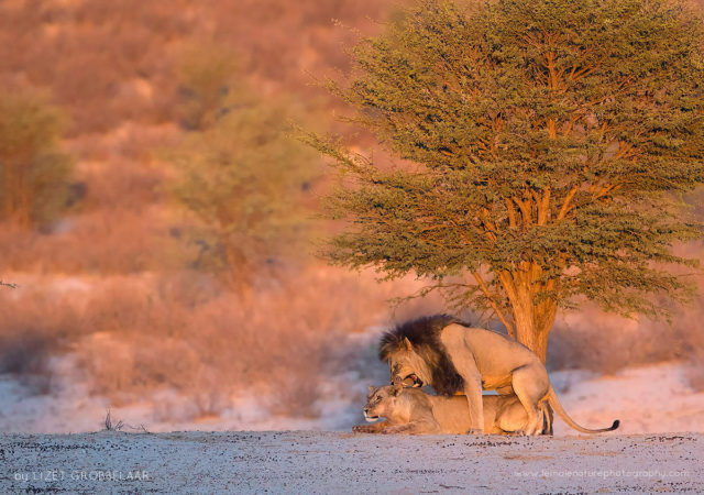 Adult play - Mating lions under a Camel thorn tree in the Kalahari Desert