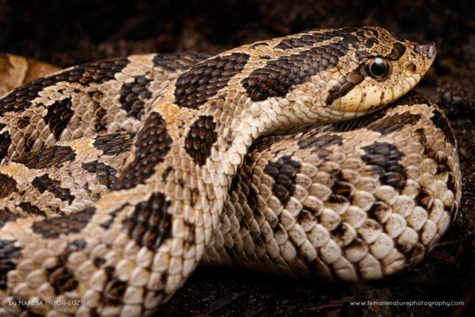Eastern hognose snake, Heterodon platirhinos,  Florida