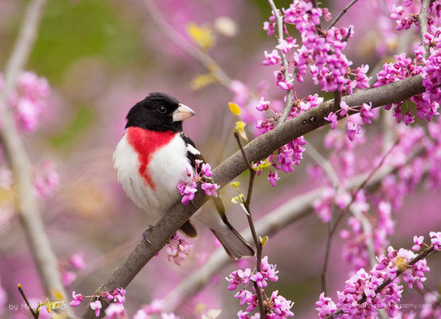 Rose-breasted Grosbeak perched amid redbud flowers in spring, New York, USA