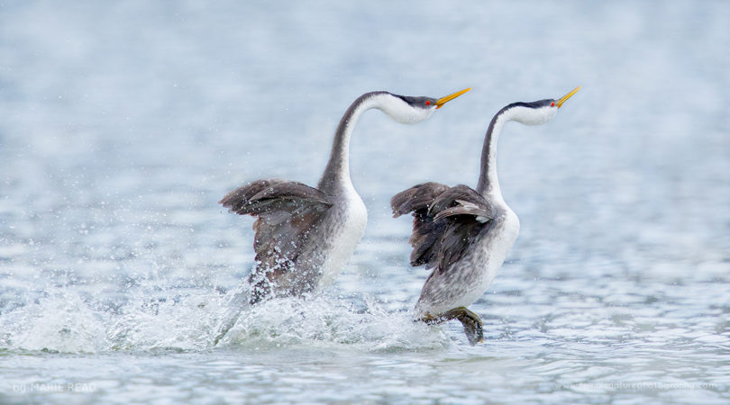 "A pair of Western Grebes perform their ""rushing"" courtship display, California, USA"