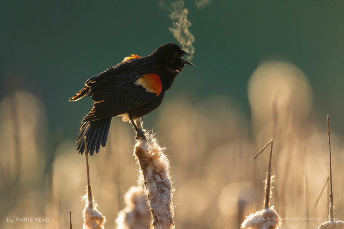 On a chilly spring morning, the breath of a calling Red-winged Blackbird is revealed by backlighting, New York, USA