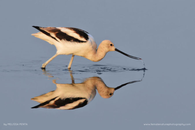 American Avocet, Merritt Island National Wildlife Refuge, Florida