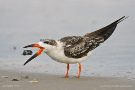 Black Skimmer, Cape May, New Jersey