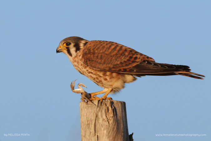 American Kestrel, Cape May Meadows, New Jersey