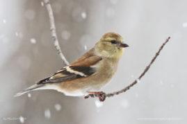 American Goldfinch, Stroudsburg, Pennsylvania