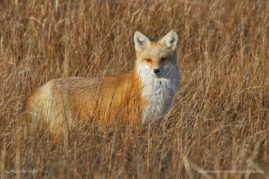 Red Fox, Island Beach State Park, New Jersey