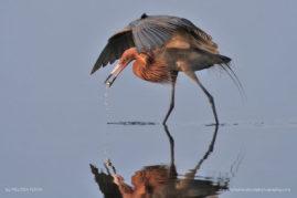 Reddish Egret, Merritt Island National Wildlife Refuge, Florida