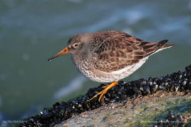 Purple Sandpiper, Barnegat Lighthouse State Park, New Jersey