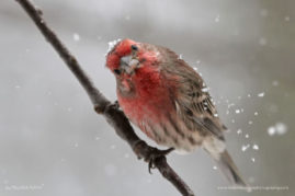 House Finch, Stroudsburg, Pennsylvania