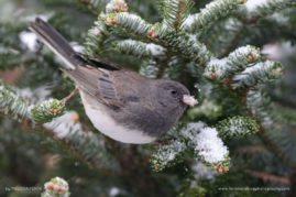 Dark-eyed Junco, Stroudsburg, Pennsylvania