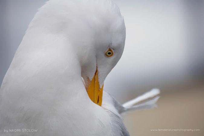 Preening gull