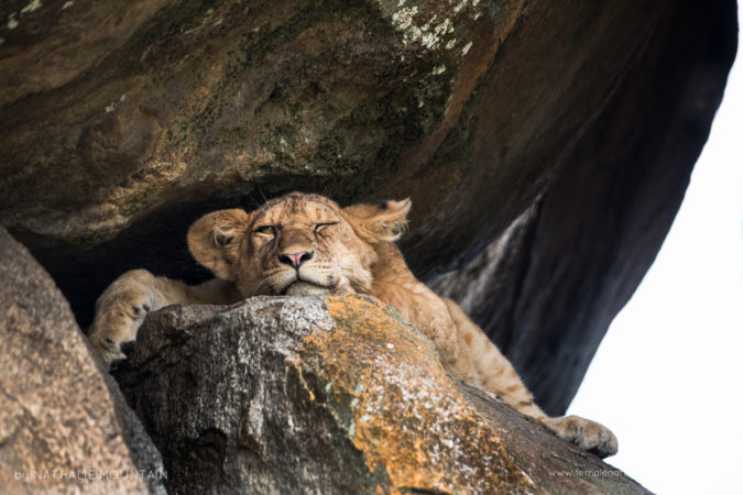 Grumpy Lion Cub -Wedged in the rocks in the shade this lion cub found a cool spot to escape the heat
