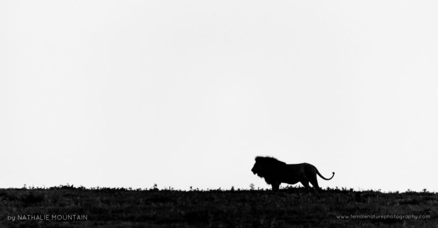 Silhouette of the King - Walking the brow of the hill in the Ngorongoro Crater