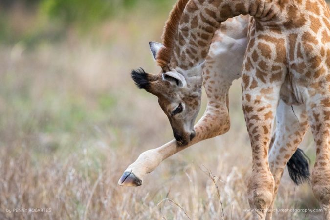 Savanna Lodge, South Africa. Baby Giraffe. Only around 2 weeks old, it was such a sweet sighting to see this baby get to grips with its long appendages.