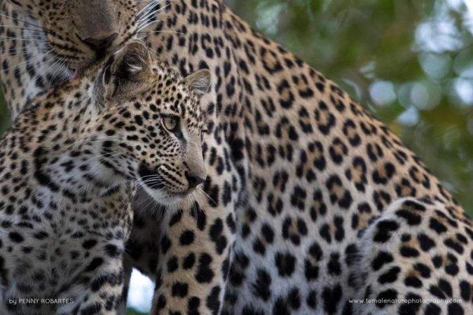 Londolozi Game Reserve, South Africa. Female Leopard and cub. The bond between a female and her cub is always incredibly special to witness.