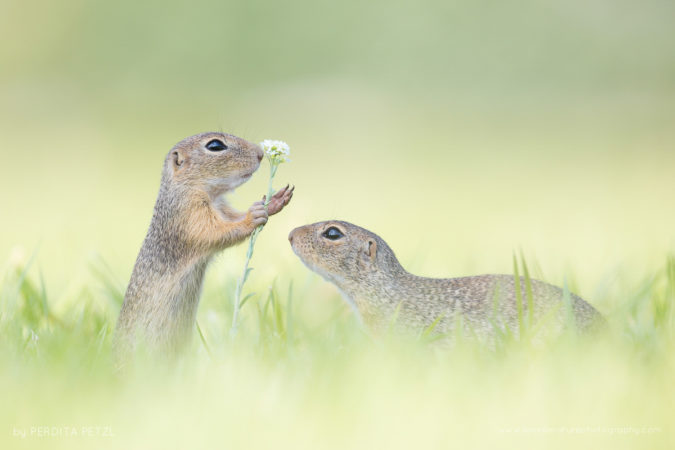 Two rare and wild European ground squirrels, Austria