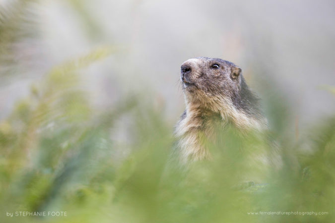 Alpine Marmot - A curious marmot peeking through a mountain meadow in the summer months