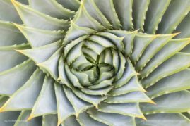 A portrait of a spiral aloe plant