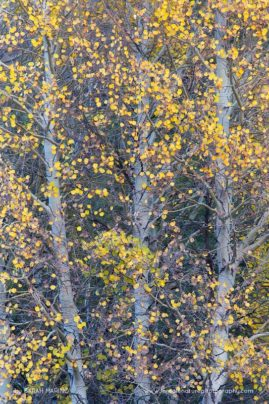 Nearly bare aspen trees in California's Eastern Sierra