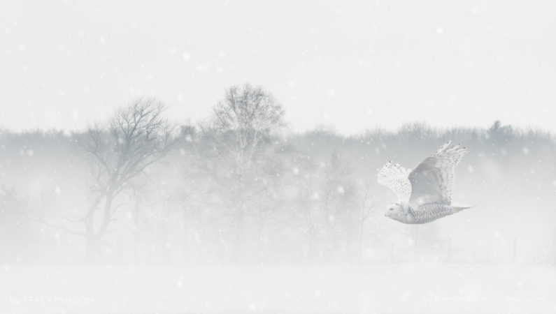 A Snowy Owl, gliding over snowy fields, during a winter storm.