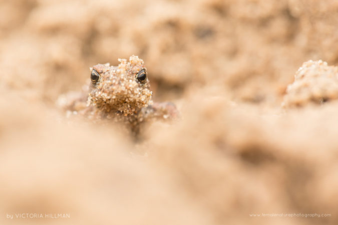 Sand Monster Common toad (Bufo bufo), Newborough Warren, Anglesey, UK